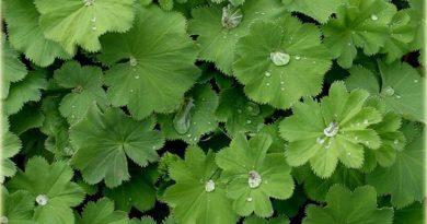 Gospin plašt – magična biljka za ženske bolesti