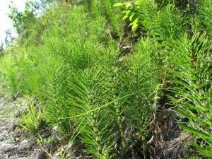 Ljekovita biljka – preslica eliksir života i ljepote